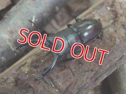 画像1: グエラチノコギリ幼虫(Prosopocoilus guerlachi)